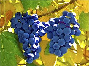 Tros druiven