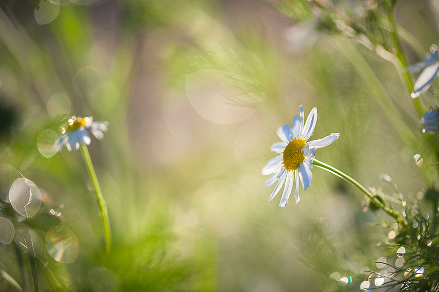 flower-images-daisy-grass