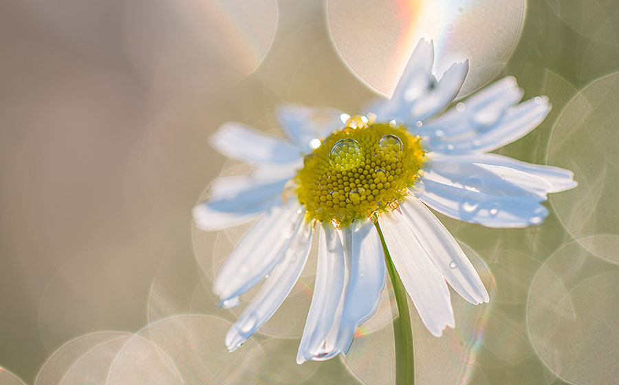 flower-images-dewdrops-daisy