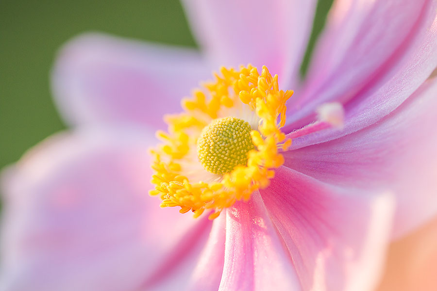 flower-images-pink-anemone-closeup