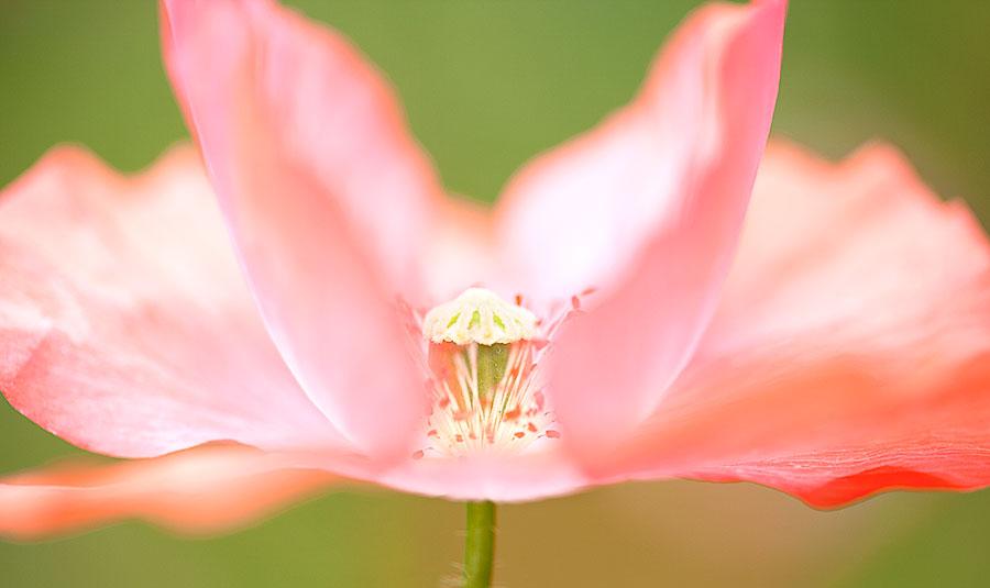 flower-images-pink-ballerina