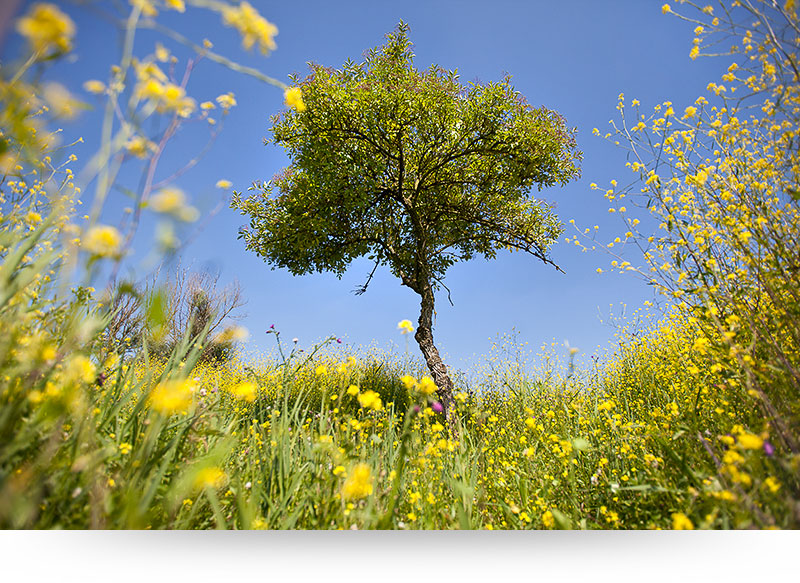 landscape-images-canvas-prints-bright-yellow-flowers-tree