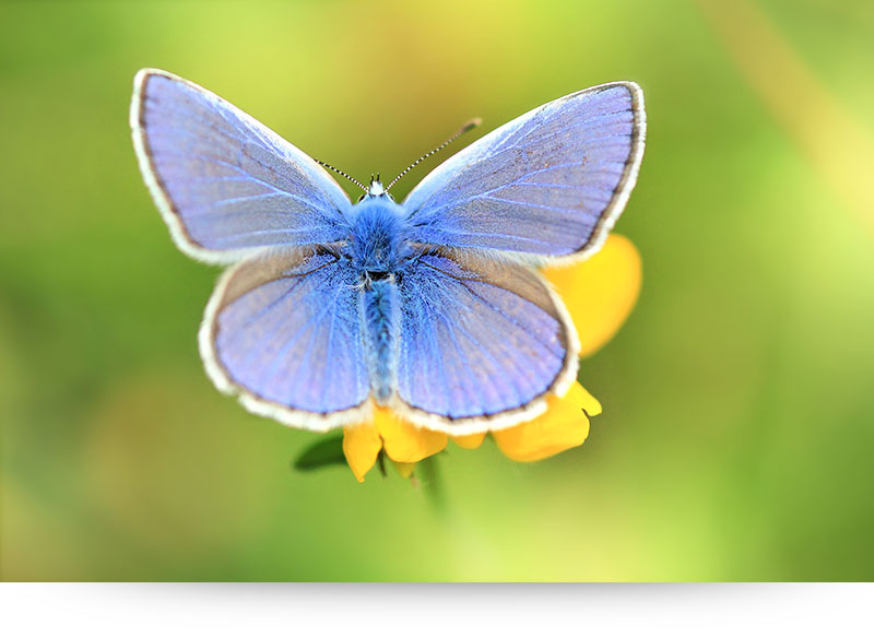 nature-images-prints-butterfly-blue