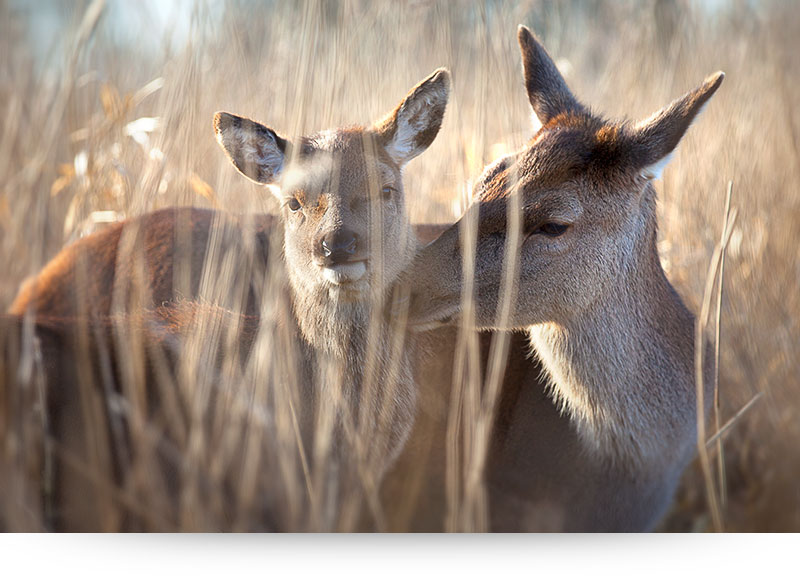 nature-images-prints-doe-calf