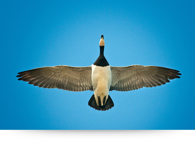 nature-images-prints-goose-wings-open-sky
