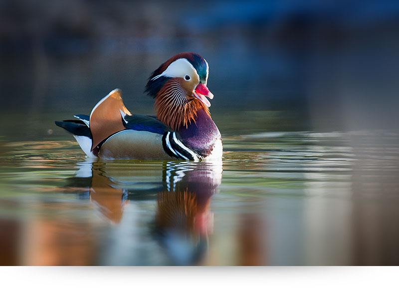 nature-images-prints-mandarin-duck