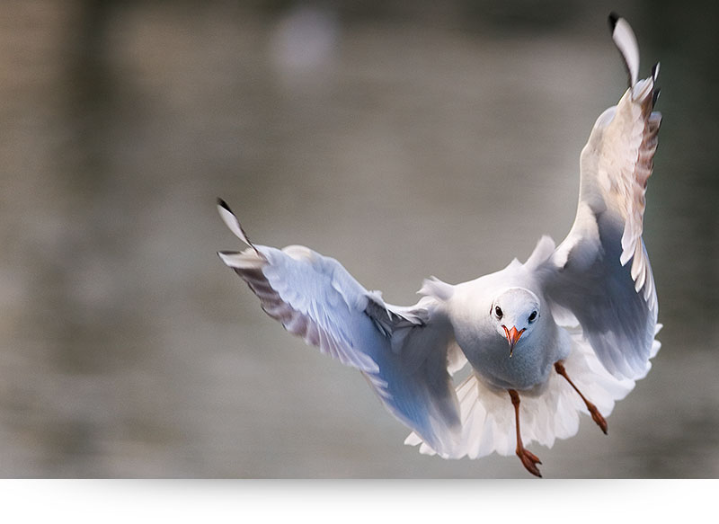 nature-images-prints-seagull-open-wings