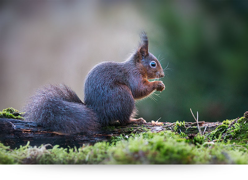 nature-images-prints-squirl