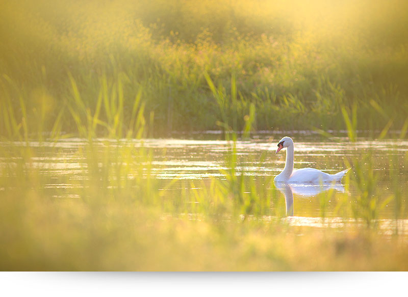 nature-images-prints-swan-sunset
