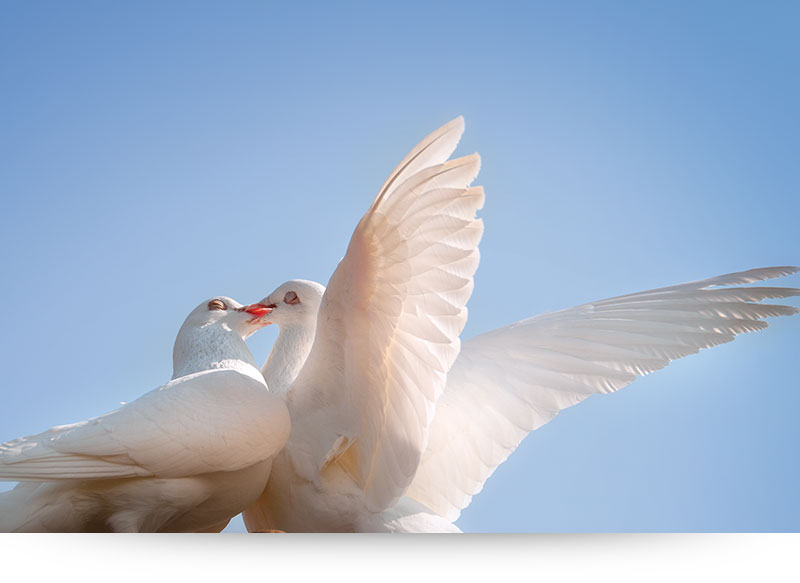 nature-images-prints-white-doves-kissing