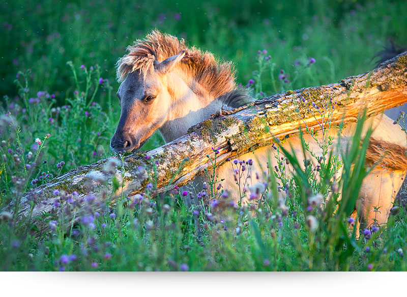 nature-images-prints-wild-horse-foal-flowers