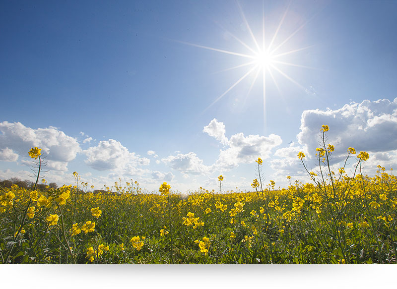 nature-pictures-landscape-yellow-field-flowers-sun-blue-sky