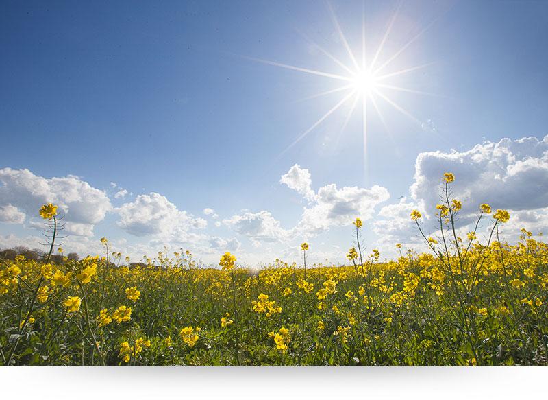 nature-pictures-landscape-yellow-field-flowers-sun-blue-sky